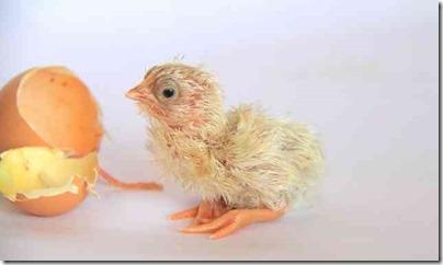 卵からひよこが生まれたばかり