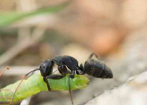 餌を運ぶアリ